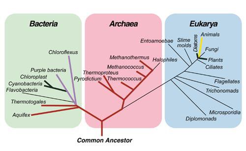 Domain Bacteria Tree
